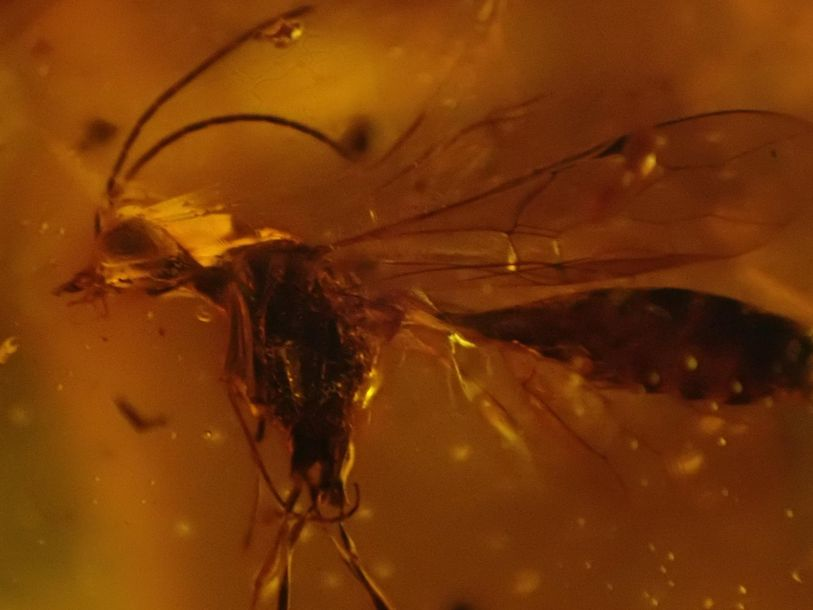 Natural History: An amber specimen containing the remains of a fly and other ins…