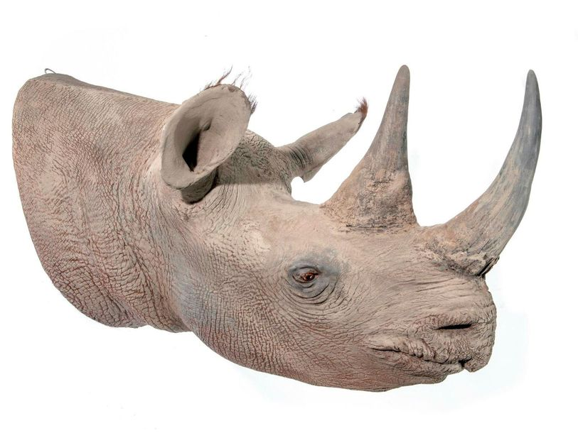 Taxidermy: A replica rhinoceros head modern 72cm high by 95cm deep