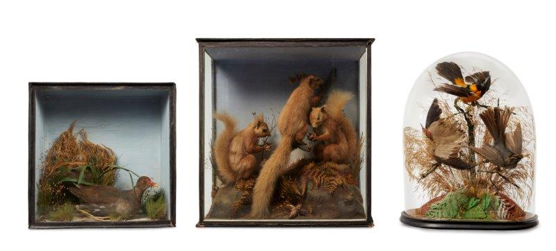 A Victorian taxidermists model of three red squirrels, formed in a natural setti…