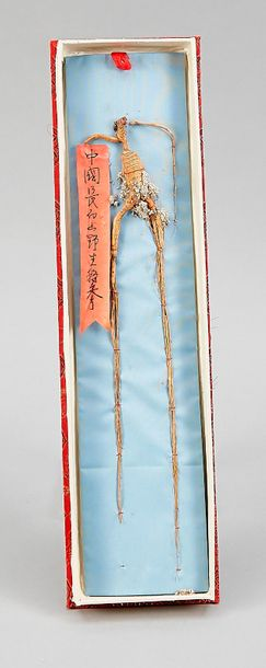 Wild ginseng root, so called mandrake of the east (aphrodisiac), China, 20th cen…