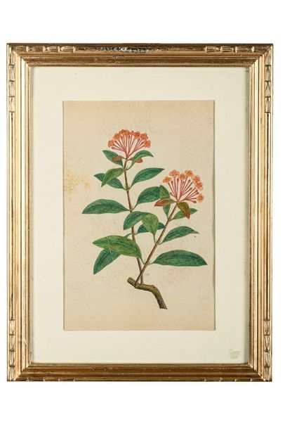"""""""Flowers"""" from Lord Macartney's albumssecond half of the 18th centurywatercolor …"""