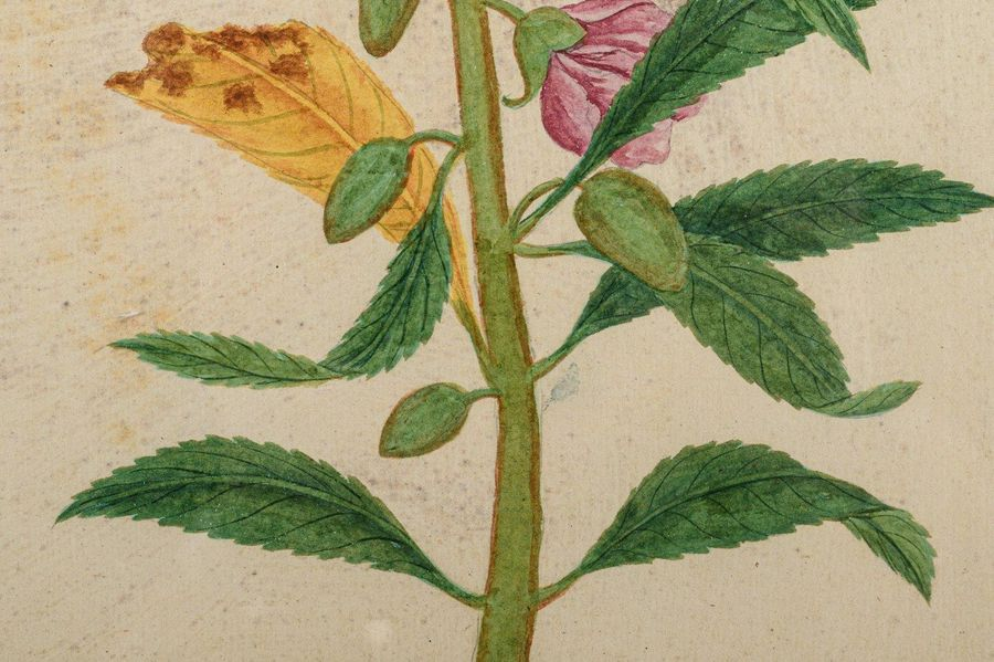 Flowers, from Lord Macartney's albumssecond half of the 18th centurywatercolor o…