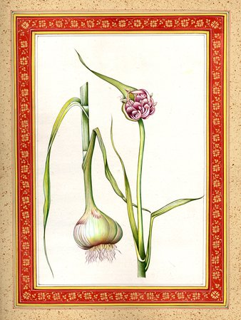 Garlic Plant A band of exotic colors is beautifully splashed over the blank canv…