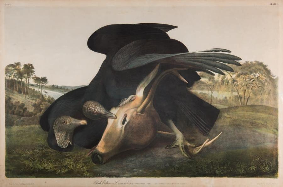 JEAN-JACQUES AUDUBON (1785 - 1851) (D APRES)  Black Vulture or Carrion Crow. (N°…