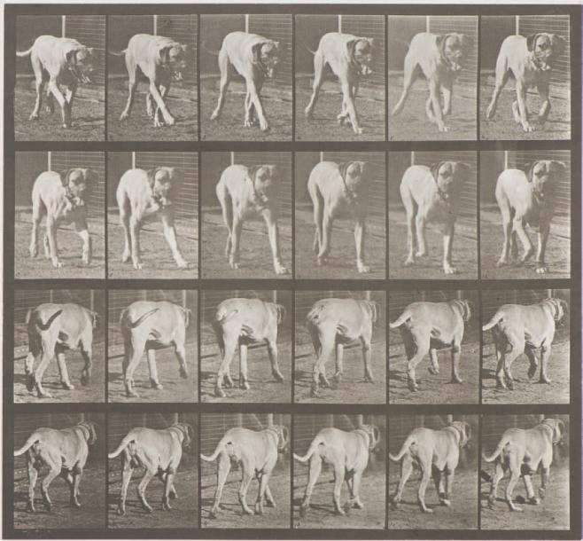Eadweard MUYBRIDGE (1830-1904) Animal Locomotion (bulldog), 706 (1887) Collotype…
