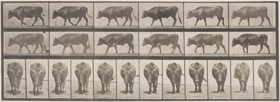 Eadweard MUYBRIDGE (1830-1904) Animal Locomotion (taureau), 670 (1887) Collotype…