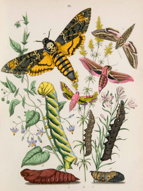 """Kirby, William Forsell European Butterflies and Moths. Based upon Berge's """"Schme…"""