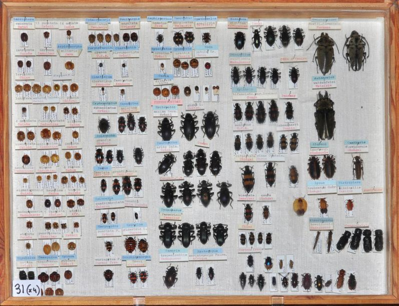 COLÉOPTÈRES EXOTIQUES DIVERS DONT ELATERIDAE, CURCULIONIDAE, CHRYSOMELIDAE etc..…